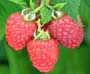 Image of Glen Fyne raspberries